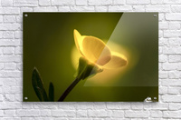 A yellow flower glowing in sunlight; South Shields, Tyne and Wear, England  Acrylic Print