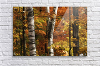 The colourful leaves and birch tree trunks in Algonquin Park; Ontario, Canada  Acrylic Print