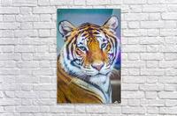 Portrait of Bengal Tiger (panthera tigris tigris) endangered species, captive; Chippewa Falls, Wisconsin, United States of America  Acrylic Print