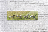 Composite of a blond cockapoo running across a grass field; South Shields, Tyne and Wear, England  Acrylic Print
