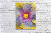 Close-up macro shot of a beautiful lavender, pink and yellow Hibiscus flower; Honolulu, Oahu, Hawaii, United States of America  Acrylic Print