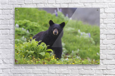 Black Bear Standing In Alpine Vegetation, Harding Icefield Trail, Kenai Fjords National Park, Near Seward, Southcentral Alaska, Summer  Acrylic Print