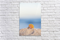 A rare rainbow color Hawaiian Sunrise Scallop Seashell, also known as Pecten Langfordi, in the sand at the beach at sunrise; Honolulu, Oahu Hawaii, United States of America  Acrylic Print