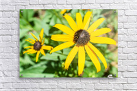 Yellow Cone Flowers   Acrylic Print