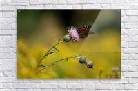 0017- Monarch Meal  Acrylic Print