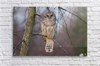 Barred Owl at sunrise.  Acrylic Print