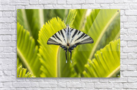Scarce swallowtail butterfly  Acrylic Print