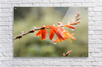 Orange Blooms with droplets  Acrylic Print