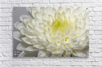 White mum flower with water droplets  Acrylic Print