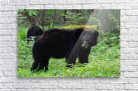 3299-Black Bear  Acrylic Print