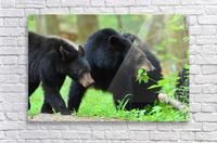 3541- Black bear  Acrylic Print
