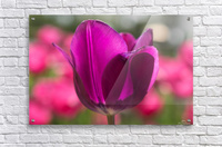 Violet - Violette  Acrylic Print