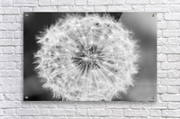 Dandylion black and White  Acrylic Print