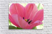 Beautiful Pink Tulip Photograph  Acrylic Print