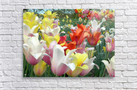 Beautiful Tulip Garden Photograph  Acrylic Print