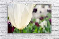 White Tulip Photograph  Acrylic Print