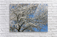 White Spring Blossoms Photograph  Acrylic Print