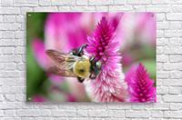 Bee On Pink Flower Photograph  Acrylic Print