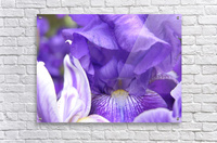 Blue Iris Photograph  Acrylic Print