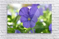 Blue Pansy Photograph  Impression acrylique