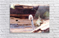 Little Mushroom  Acrylic Print