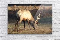 Roosevelt Elk  Acrylic Print