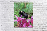 Black Bumble Bee  Acrylic Print