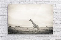 Zebrascape  Acrylic Print