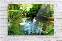 swan 11  Acrylic Print