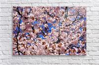 Cherry Blossom  Acrylic Print