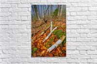 White Birch - APC-261  Acrylic Print