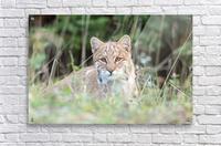 Curious Bobcat  Acrylic Print