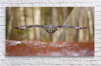 Great grey owl  Acrylic Print