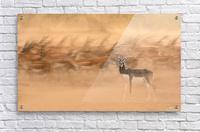 Black Bucks  Acrylic Print