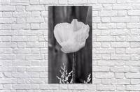Country poppy  Acrylic Print