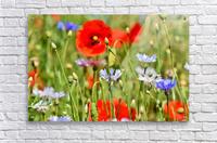 alpine cornflower, cornflowers, flowers, centaurea montana, field of flowers, poppy, composites, flora, wild plant, plant, flower garden, wild flower, garden, flower meadow, petal, meadow, nature,  Acrylic Print
