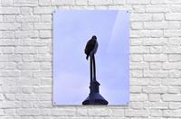 12.5.18 Hawk  Acrylic Print
