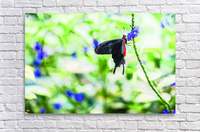 Black & Red Butterfly  Acrylic Print