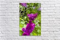 Purple Lilac Blossoms 2  Acrylic Print