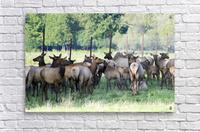 Elk Red Tailed Deer or Wapiti 16  Acrylic Print