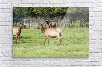 Elk Red Tailed Deer or Wapiti 4  Acrylic Print
