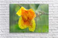 Canna Lily Digital Painting 52 70 200px  Acrylic Print