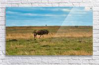 Cheetah stalking is prey  Acrylic Print