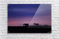 Zebra Sunrise  Acrylic Print