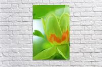 Yellow Poplar Flower  Acrylic Print