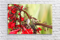 Hummingbird Giving Thanks  Acrylic Print