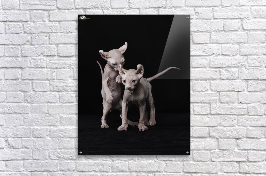 Elf Sphinx kittens  Acrylic Print