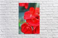 Elegantly Red  Acrylic Print