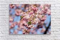 Cherry blossom Red  Acrylic Print