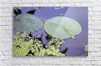 Lily Pads and Duckweed Dow Gardens 2018  Acrylic Print